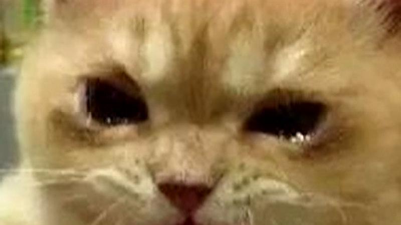 眼前摆了一盘肉却不敢碰,猫咪:我快控制不住了