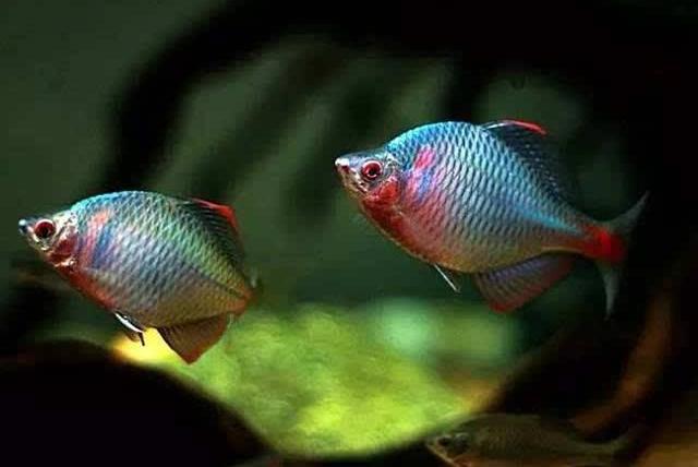 高山上的水域中为什么也有鱼?若非人为原因,就是这类动物带去的