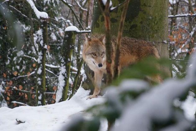 老虎地盘上为什么不会出现大型狼群?