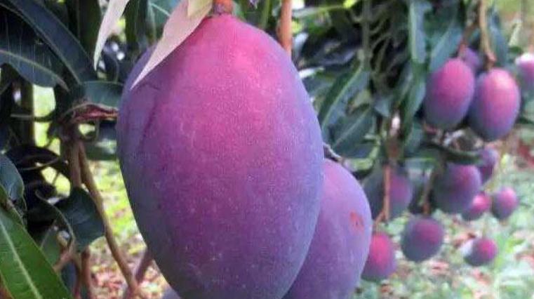 这水果产量极高,果肉甘甜可口,却少有人吃过!