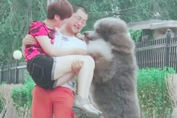 男主抱起女主,大泰迪醋意大发要抱抱,狗:怎么只抱她不抱我啊!