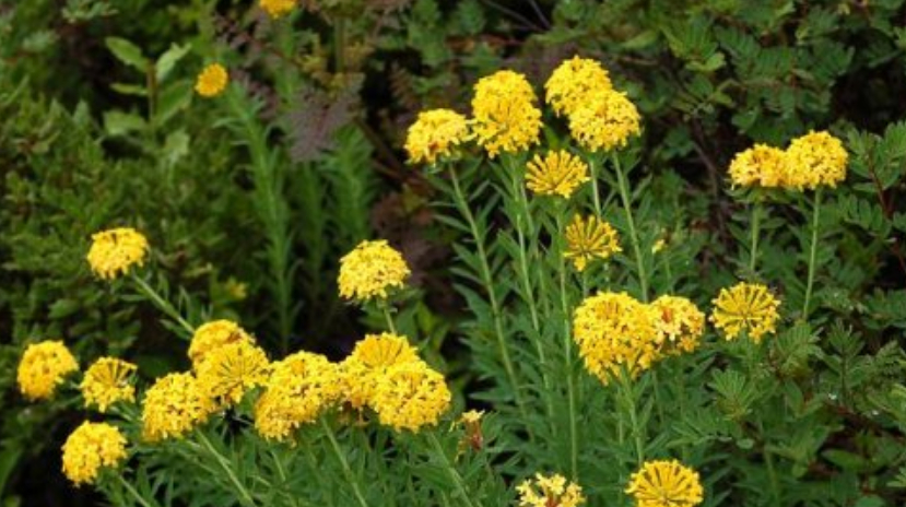 农村这带毒野花,曾经农民见了就害怕,却不知是治病良药!
