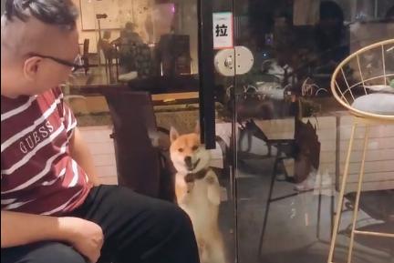 主人进咖啡厅柴犬却被阻拦,狗狗不甘心,站在门口使劲演戏!