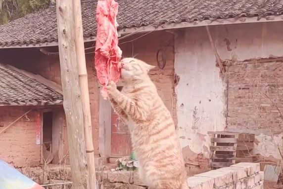 网友晒在院子的肉总是变少,原来是橘猫干的,这么胖还偷吃啊