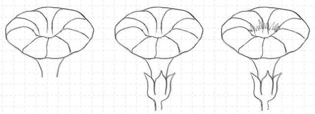 本章围绕结构和画法两方面展开,详细讲解花卉的画法。 【绘画视界】原创文章,未经作者允许,不得转载。  花蕊生长在花的中心处,有雌蕊、雄蕊之分。雌蕊位于一朵花的正中央,雄蕊则生于其周围。花朵初开时,花蕊丰满、排列整齐;盛开时,全部裸露在外面;欲谢时,花蕊则渐渐干瘪而卷缩。   花冠 花冠形态各异,大致可以归纳为以下几类。 钟状 钟状花冠较短,花筒宽而口阔,宽与长相等或略长,上部裂片扩大成钟状,如桔梗科花冠。  轮状 轮状冠筒短,花冠裂片由基部向四面轮状扩展,如茄子、番茄的花冠。  筒状 花冠大部分呈圆筒状,