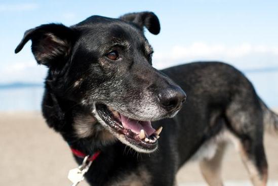 狗狗未老先衰,还处于壮年就毛发变灰了,为什么会出现这样的情况