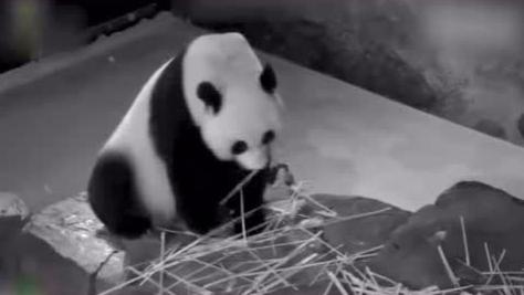 """华盛顿国家动物园""""克扣""""大熊猫美香伙食"""