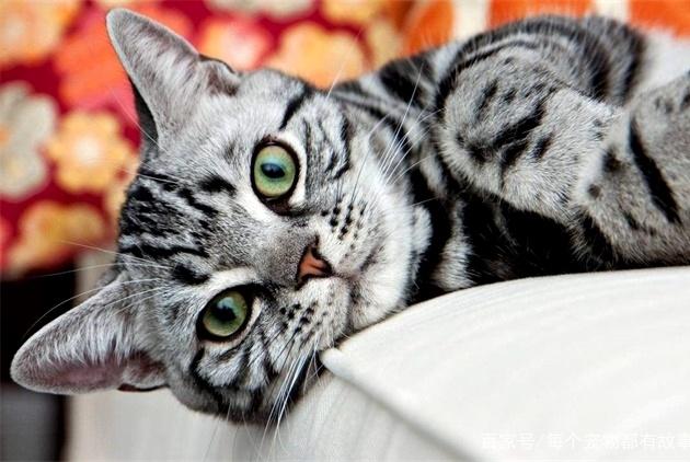 新手养猫就养这五种,布偶美短很可爱,其它三个也是不错的选择