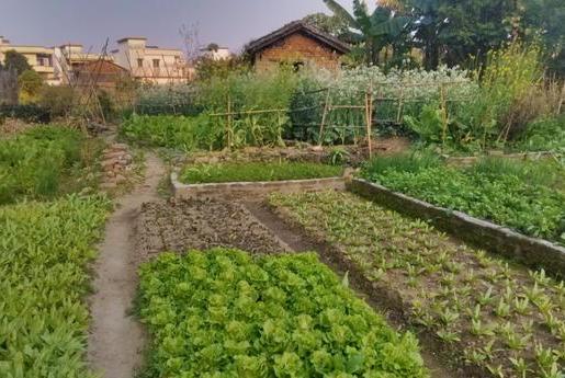 菜油麦菜是莴笋幼苗吗?菜地里分不清的蔬菜,有的菜农自己都晕了