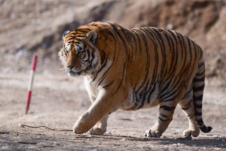 生态恢复了,野生东北虎自然就会增多,为何还要野放圈养东北虎?