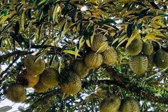 一颗榴莲树能结上百个榴莲,凭啥卖得那么贵?