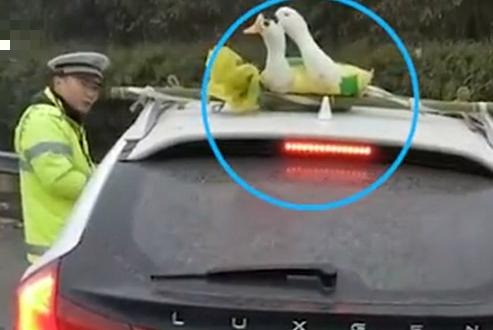 鸭鸭被绑车顶高速飞驰,交警看不下去了!网友:好可怕鸭
