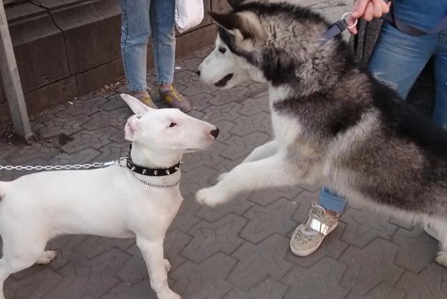 二哈欺负5个月大的狗,结果却被按在地上,也是够没面子的