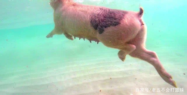 因为这座小岛已经成了旅游景点,所以这里的猪都学会了一项技能,那就
