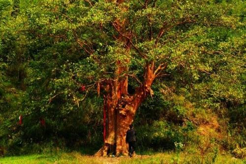 我国最神奇的紫薇树,是第三纪残遗植物,不能繁衍全国仅此一株