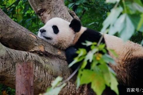 唯一不属于中国的熊猫,如今年事已高,只能等待老死!
