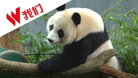 旅美大熊猫美香被虐待?中美联合辟谣:美香状态很好
