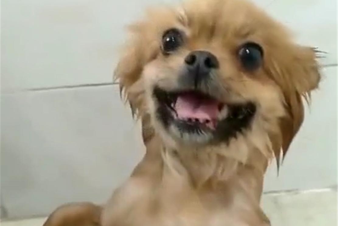 田园犬爱洗澡,冲水时主动敞开胸怀,还会咧嘴笑……