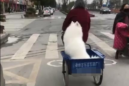 狗狗被奶奶用三轮车拖回,躲背后偷着乐,从不羡慕宝马车的狗子!