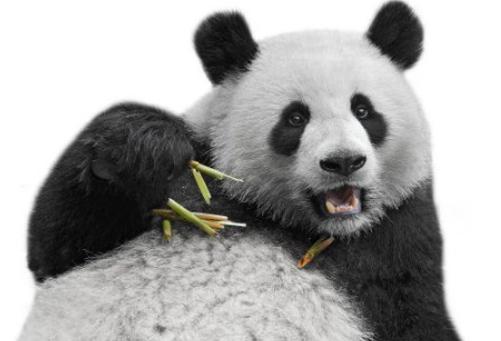 它们同样都是国宝,大熊猫被严密保护,而它差点被当地人吃没了!