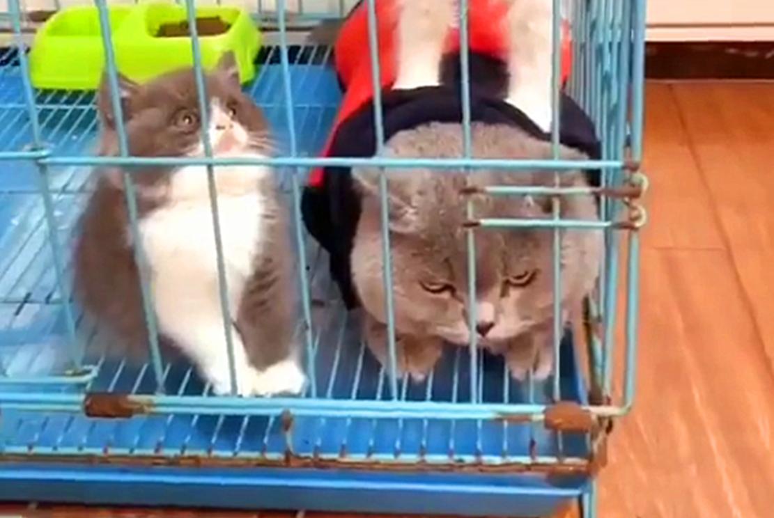 蓝猫驮母猫玩逗猫棒,蓝猫:媳妇怎么踩都行,别人撩一下都不可以
