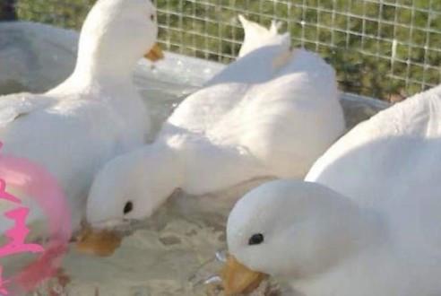 王思聪斥重金买两只鸭子做宠物?王可可这下要遭冷落了!