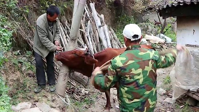 农村小伙养牛,家里的牛生病叫兽医给打了针,这牛太调皮了