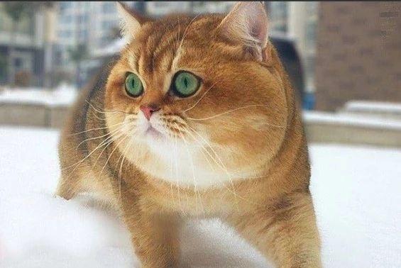 背影看还以为是一只柴犬,没想到正面照原来是只大眼萌猫咪