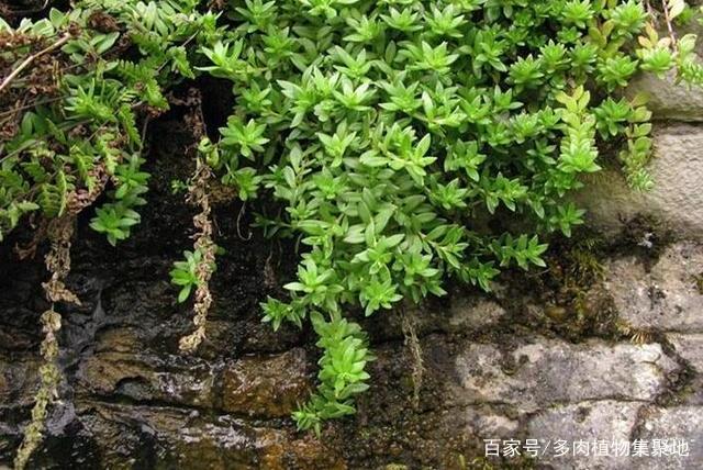 """河边常见的""""野草"""",挖""""1棵""""种植起来,25天就爆盆,漂亮!"""