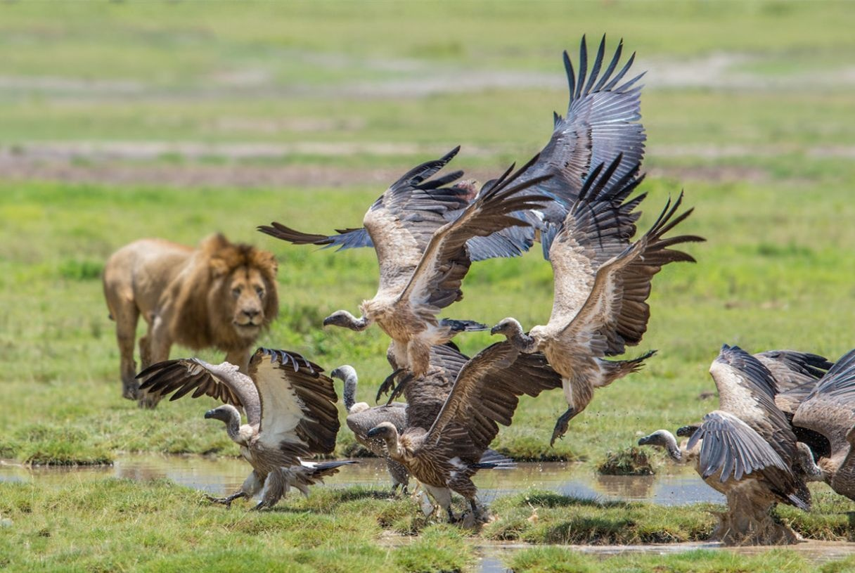 秃鹫的进食顺序总要排在狮子之后?在这种情况下狮子不会阻拦它们