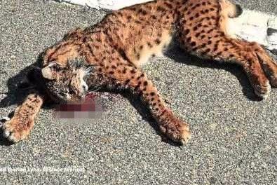 地球最濒危的猫科动物:数量终于赶超野生东北虎,路杀是最大威胁