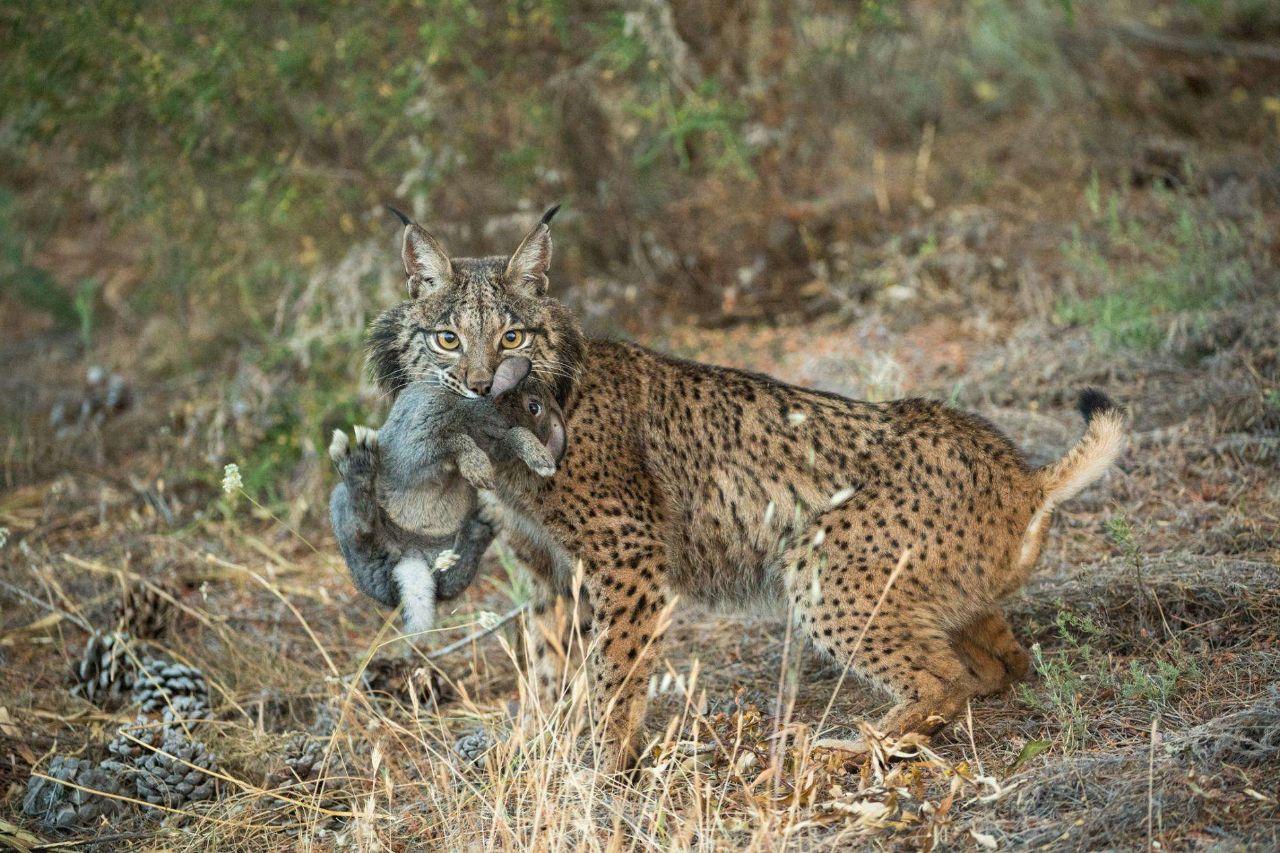 亚洲金猫_在猫科动物中,尤以狞猫,亚洲金猫和猞猁属的西班牙猞猁,加拿大猞猁