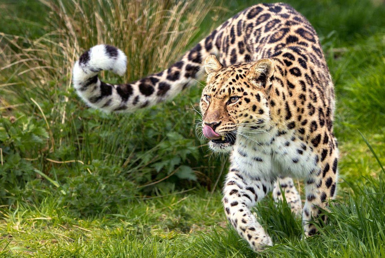 远东豹濒临灭绝的4大原因,最后一个和东北虎有关