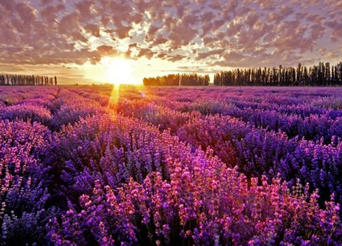 想看紫色薰衣草花海,不用出国,中国的普罗旺斯——图片
