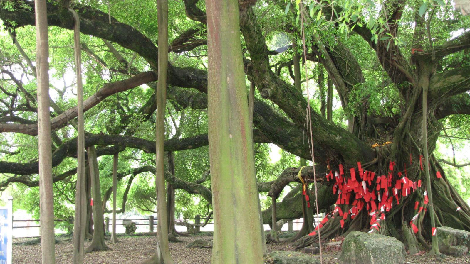 桂林大榕树,上海市后滩公园……细数那些风景很优美的