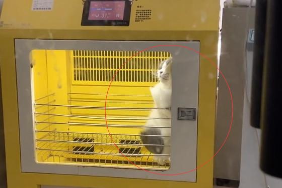宠物店偶遇一只正在吹毛的猫,仔细一看,这猫有点生无可恋呀