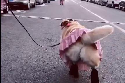 狗狗穿高跟鞋,走起路姿势十分妖娆,网友:真的不会崴脚啊!