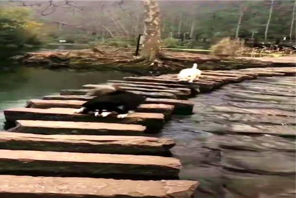 阿拉恐高晕水,过河时只能匍匐前进,上演了现实版的摸着石头过河