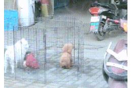 主人把泰迪关笼子里,狗子每天练习跳高,狗:总有一天我能跳出去