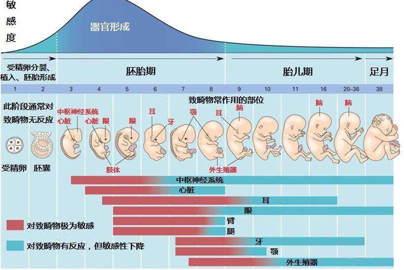 1张图告诉你,怀孕2~16周胎儿发育整个过程,让人泪目