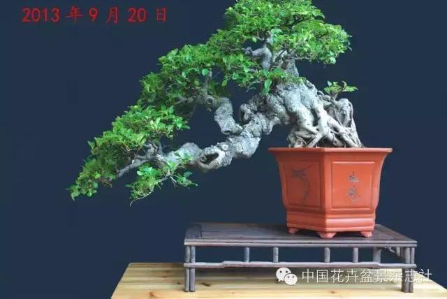 爱木盆景I 参展的榕树盆景如何永保青春