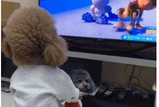 泰迪坐在小凳子上看电视,看得目不转睛,跟个小朋友似的