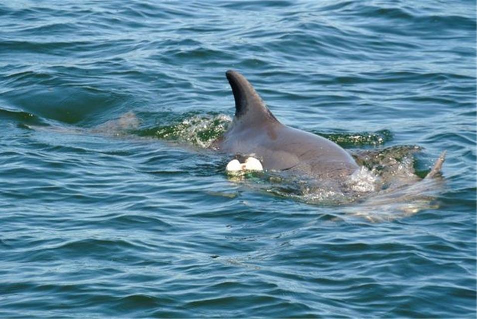 心碎!小海豚被捕蟹网纠缠身亡,海豚妈妈守护在旁不忍离去