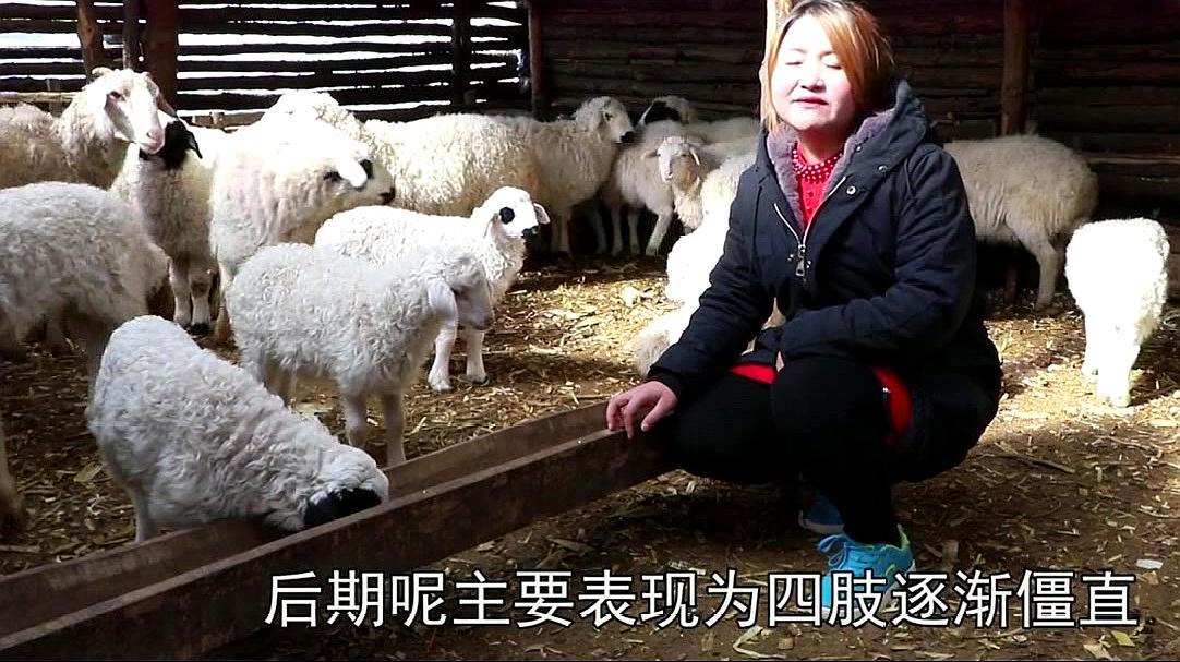 养羊大姐分享两个养羊窍门,讲的确实有道理,以后一定要注意!