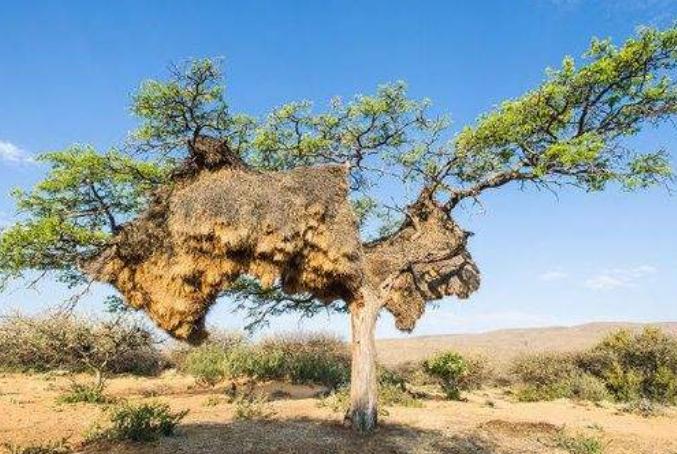 """非洲有一个世界上最大的""""鸟巢"""",有着百年的历史,重达一吨"""
