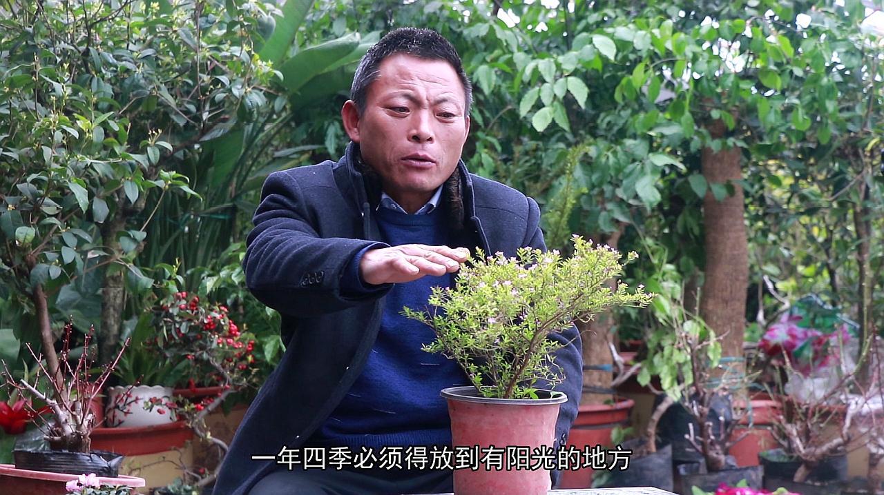 植物花卉之满天星相关生活知识