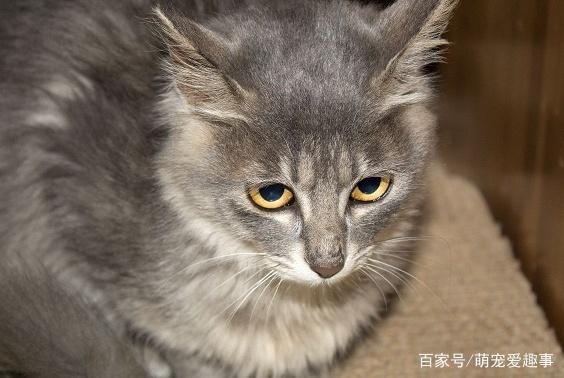 为何在国外受欢迎的中华田园猫在国内不受待见,都是虚荣心作怪!