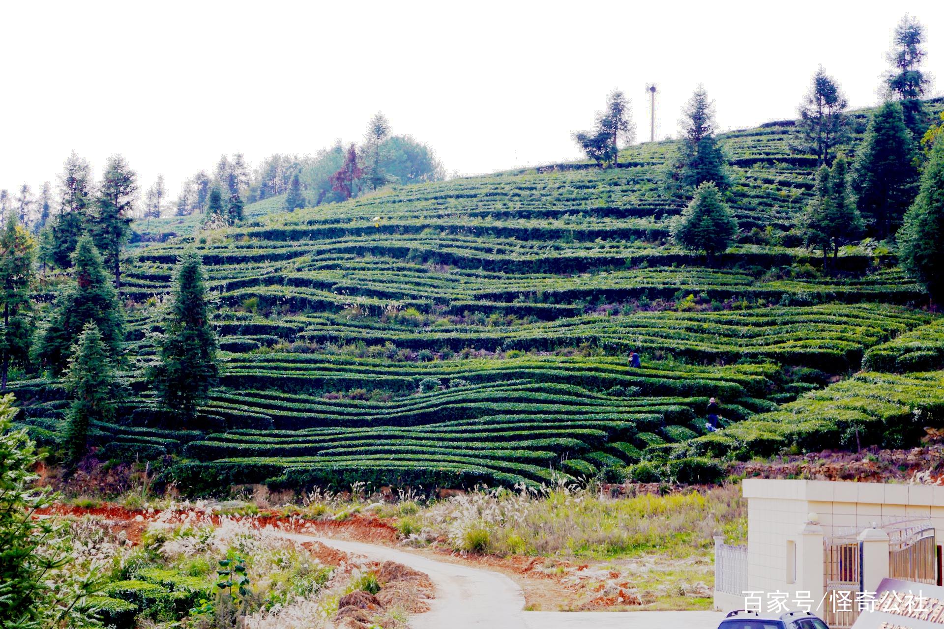 与古代丝绸之路有相同意义的万里茶道,是中国通往俄罗斯的一条陆上重要商道,如今的万里茶道,实际上还应包括远渡重洋进入欧洲的茶叶商路。 宜昌宜红茶,就是沿着这条万里茶道,走出了自己的品牌,将红茶的芬芳香遍全世界,也让世界知晓了在中国大陆中心地带的一个美丽城市宜昌。  游客在茶园体验采摘乐趣。 宜昌是万里茶道重要节点城市,是中国传统三大红茶之一宜红茶的主要原产地,是农业部规划的长江上中游特色和出口绿茶重点区域,2017年全市茶叶面积达到93.