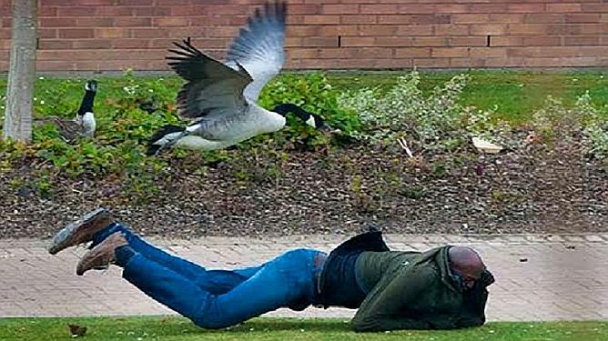 加拿大害怕的动物,横行霸道见人就咬,当地允许合法捕杀