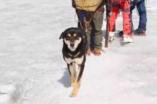 狗界奇闻!第一只登上喜马拉雅山的狗子诞生啦!